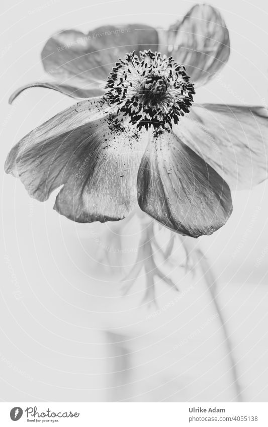 Flower of anemone in black and white Delicate Anemone coronaria Crown Anemone Elegant Design Wellness Harmonious Contentment Relaxation Meditation Calm Spa