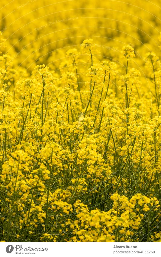 Yellow rapeseed flowers in a cultivated field, Aragon, Spain. yellow color fields agriculture cultivation monoculture plant Brassica napus Brassicaceae canola
