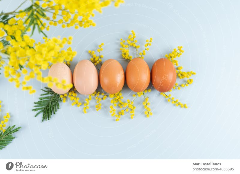 Eggs of different shades on blue background with yellow flowers decoration on blue background. Copy space. file eggs mimosa mimosa flowers copy space top view