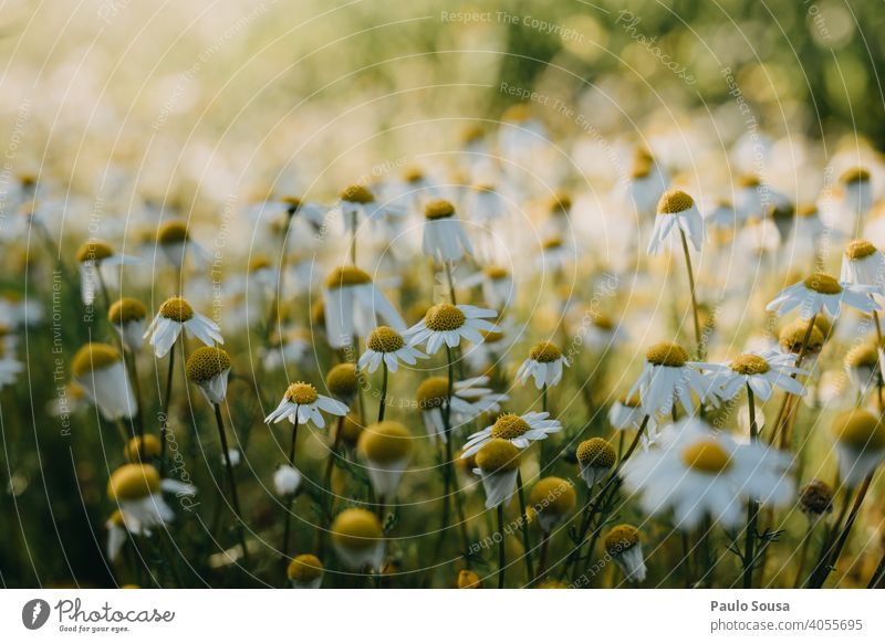 Close up wild daisies Wild plant Daisy Spring Spring fever Spring flower Flower Nature Plant Garden Blossoming Colour photo Yellow Summer Meadow Grass