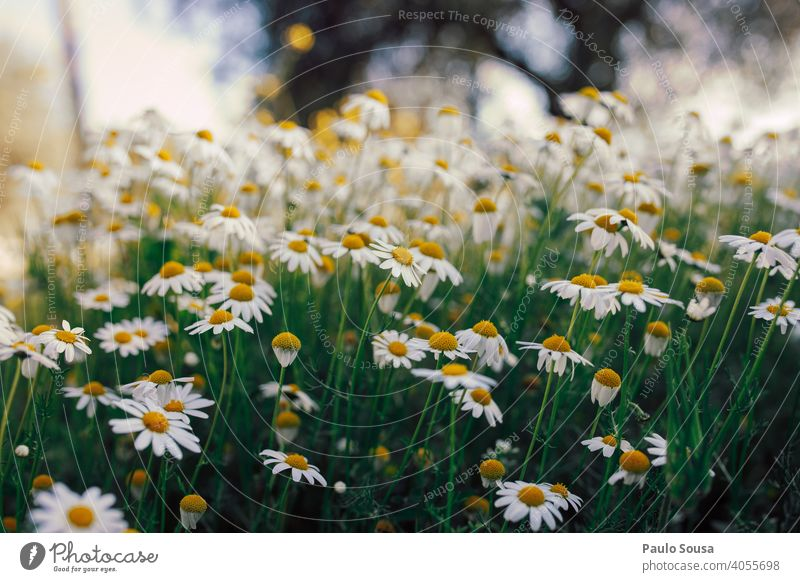Wild daisies field Daisy Daisy Family Flower Flower meadow Spring Spring fever Spring flower Yellow Green Garden Blossoming Plant White Meadow Nature Day Growth