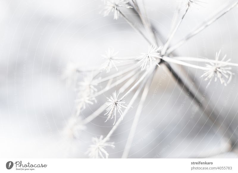 Frosty detail of a withered plant in winter Winter Plant Shriveled dead Cold Ice White Nature Snow Exterior shot Environment Frozen Colour photo Detail Close-up
