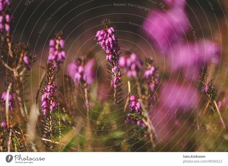 Winter heather, Erica carnea, with bright pink flowers on the forest floor in spring, Austria Flower Floral Blossom Pink Spring erica carnea Purple Nature Sun