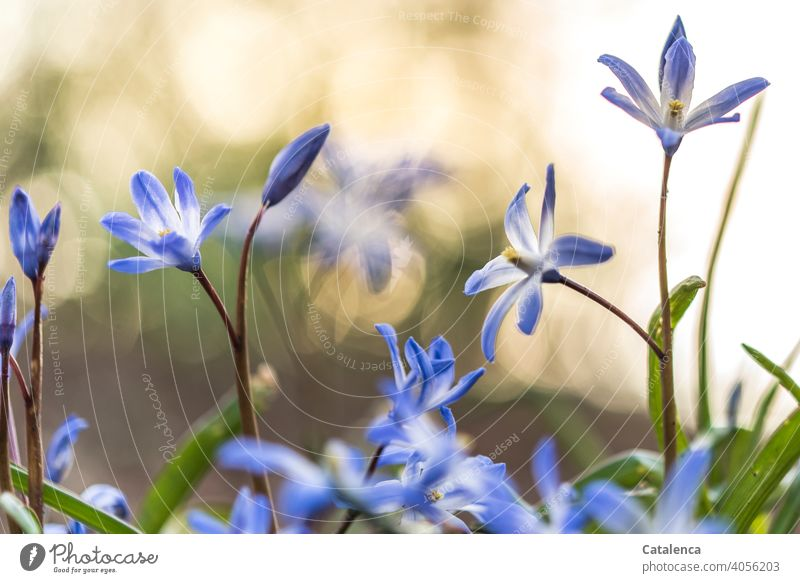 In spring the blue star blooms fade Nature Plant flora Flower Blossom leave blossoms Garden Spring Day daylight purple Violet Green wax Orange Sky
