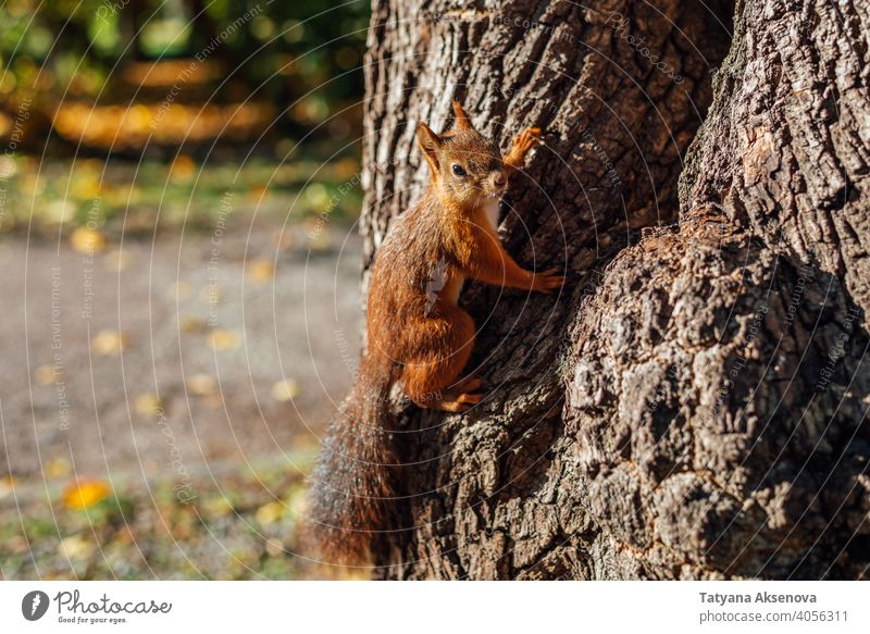 Squirrel on tree in park squirrel mammal animal nature fluffy red forest brown wild rodent cute wildlife wood furry tail funny sciurus curious green autumn