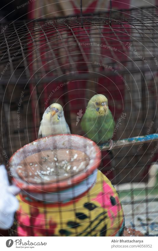 two birds inside a cage sitting in a pensive mood couple vibrant colorful Feather wing Beak Animal Beautiful