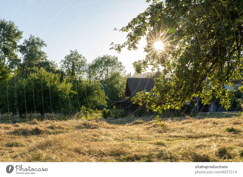 Sliced dry hay in summer in evening sun with shed and forest in the background. Branch with leaves in the right foreground. Sun star between leaves. Rural scene, Switzerland.