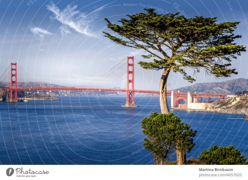 Golden Gate bridge framed by a cypress tree san francisco golden gate marin headlands travel ocean architecture landmark tourism city blue famous sea water