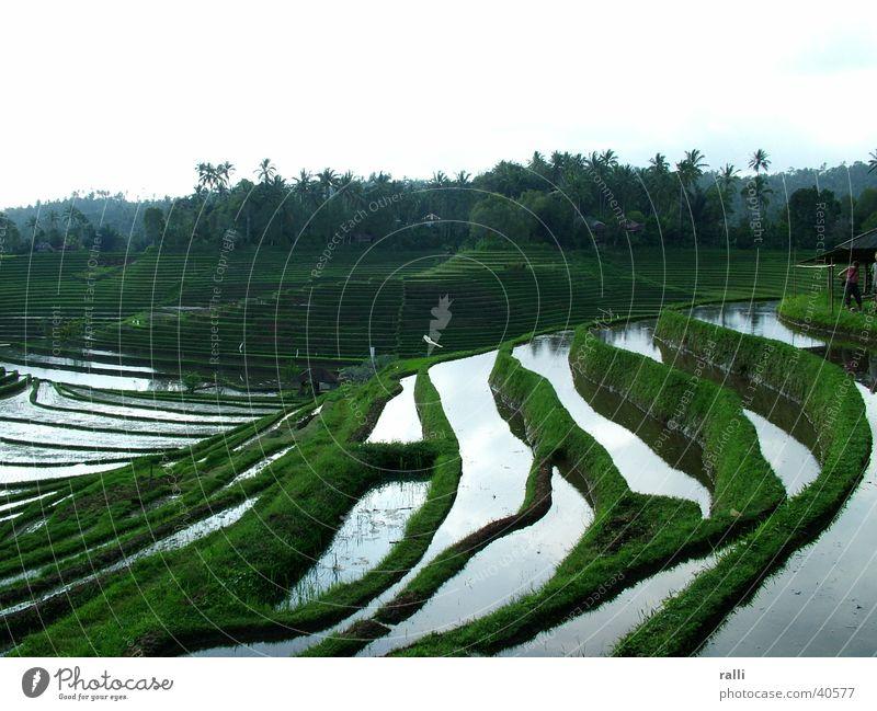 Indonesia Bali Paddy field