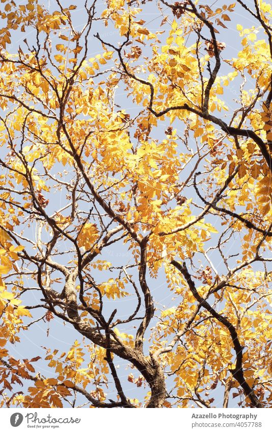 Bottom view of tree branches in autumn. Tree branches with yellow and orange leaves abstract art background beautiful beauty bright color dry environment fall