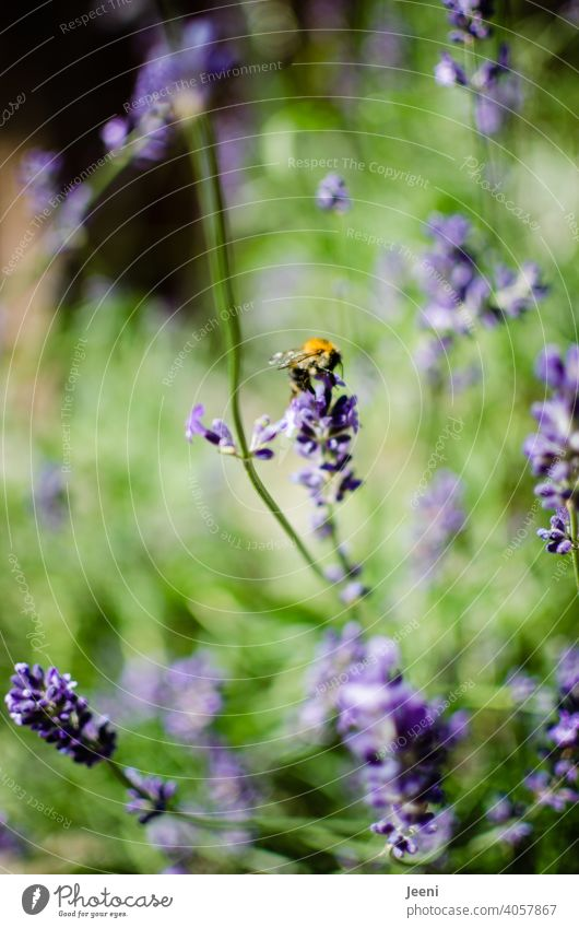 Lavender and bumblebee in the garden lavender blossom lavender scent Bumble bee Garden purple Yellow Green Insect insects Close-up Animal Animal portrait