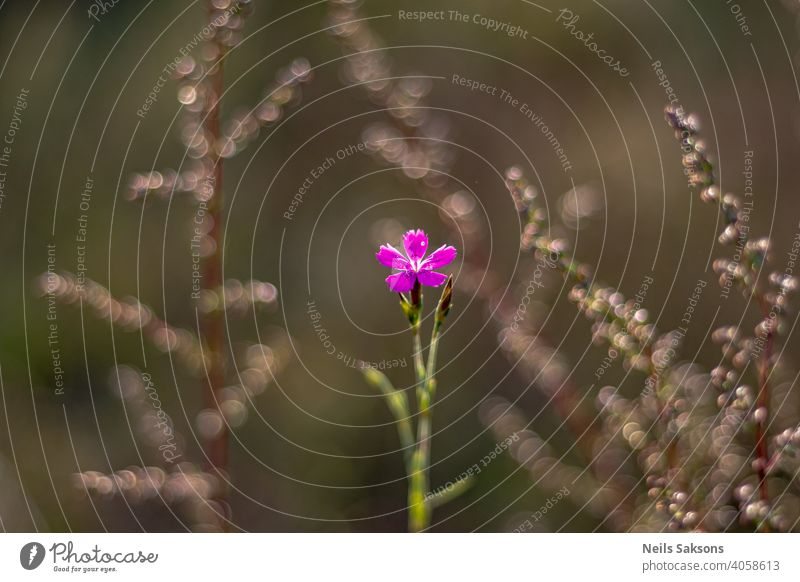 small violet meadow flower, nice bokeh of grass in background summer spring nature plant garden blossom blossoming green rings serene center pink violet flower