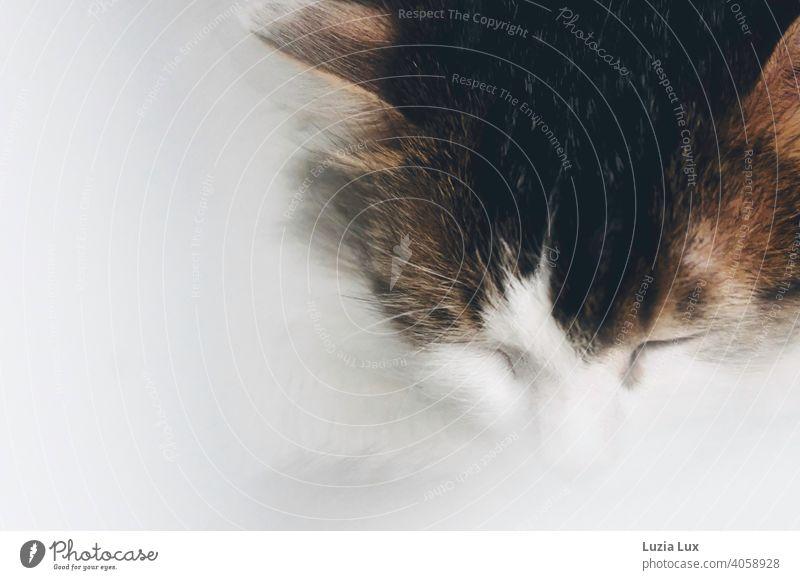 Cat Dream or Portrait of a Sleeping Cat.... cat dream sleeps Closed eyes Soft White mackerelled Dreamily Pet Animal Animal portrait Animal face Calm Pelt