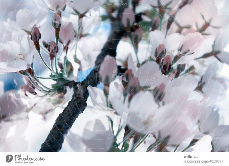 Spring Flower Dream spring blossoms Cherry blossom cherry blossom Delicate Blossoming pretty White Pink buds blossom dream Twig flowering twig Japanese cherry