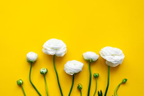 White ranunculus on a yellow isolated background. Flat lay. Buttercup yellow background flat lay Spring Design Style Background picture Nature Flower Leaf