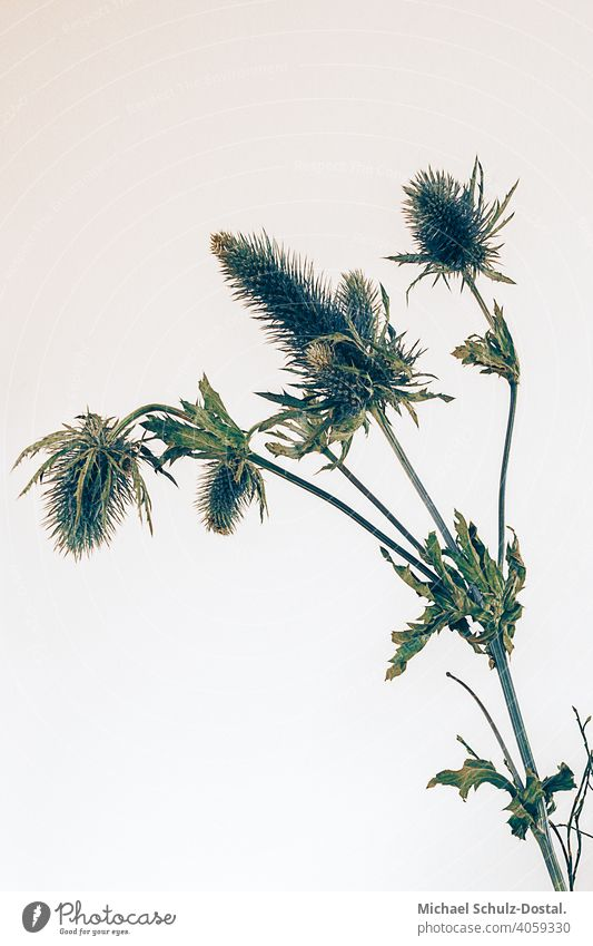 Thistle bush in front of bright wall Flower Plant Ornamental plant pretty Calm flower schedules calm quiet Green green silent Still Life decoration shrub