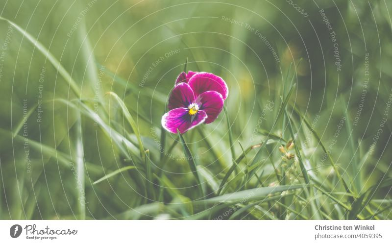 violet horned violet all alone on the meadow Horned pansy Viola cornuta Flower Plant Blossom Spring Nature pretty Green Violet Close-up Blossoming