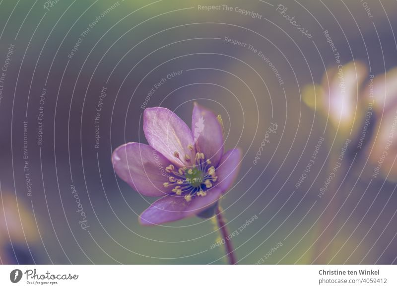 liverwort Hepatica nobilis purple Violet Nature Flower Spring Blossom blurriness card motif herald of spring Spring flowering plant Light beautifully