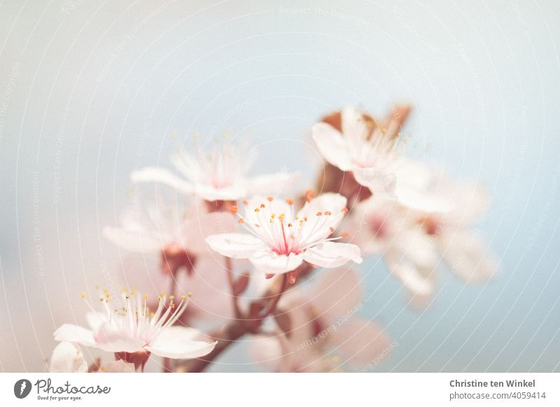 Delicate flowers in spring blossoms Plum blossom Plum tree Spring Blossom Blossoming tree blossom Spring fever Spring colours herald of spring Pink light blue