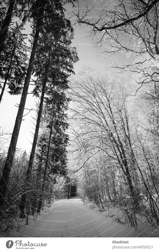 Black and white shot of a snowy forest path - in the far distance a lonely walker Black & white photo black-and-white iced trees fir trees deciduous trees