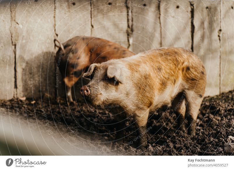 two pigs standing in the mud agricultural agriculture animal animal rights barn countryside cultivation cute domestic farm farmer farming farmland industry