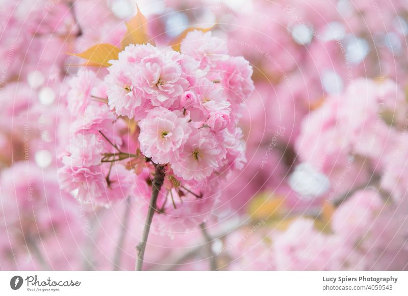 Close up of pink cherry blossom in spring. close up Pink Cherry blossom Cherry tree Spring April background bloom bokeh Branch Bright Environment flora Floral