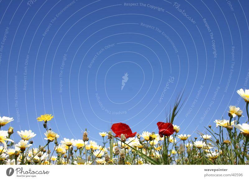 Ibiza Flowers Poppy Plant Nature Margarites