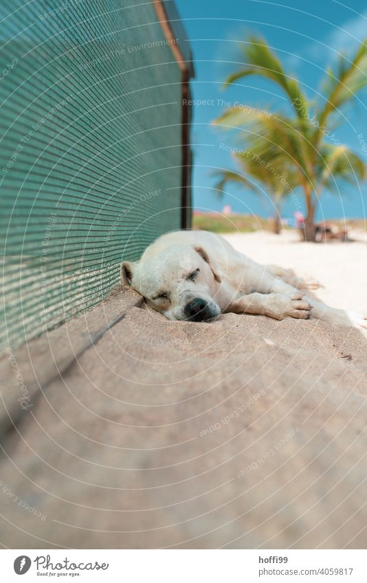 The dog sleeps in the shade on the beach Dog Sleep Indifferent Summer ardor Palm beach Palm tree rest Rest Relaxation doze Lie Calm Contentment Animal Dream