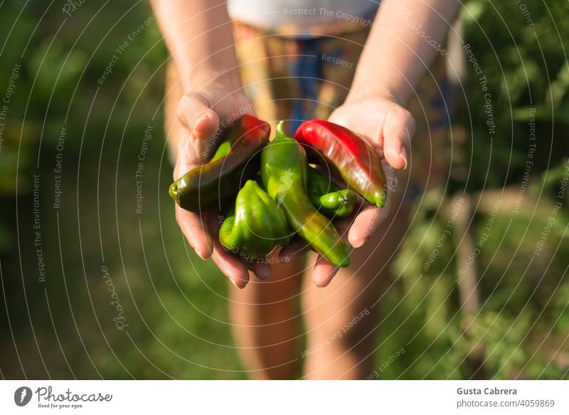 Hands show the harvest of seasonal organic peppers. agriculture background crop farm field food fresh garden gardening green grow growing growth healthy leaf