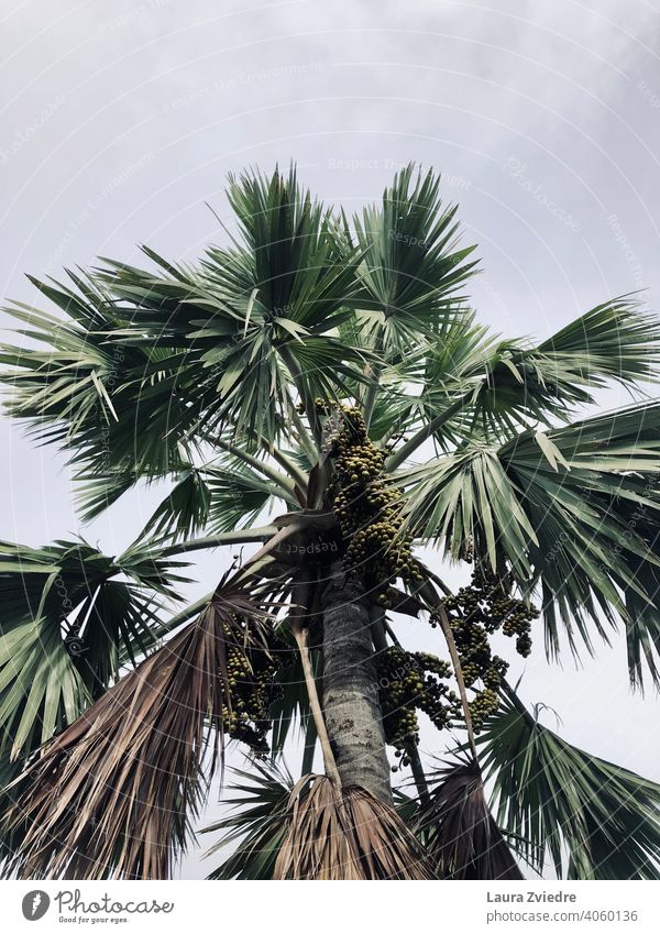 Palm tree with fruits palm trees tropics Exotic Plant Palm frond Tree Nature tropical climate Tropical Wood Leaf Beautiful weather Summer Green