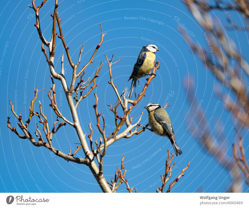 Two bluetit sit on a tree at spring in Jena urban ornithology habitat nature outdoor thuringia background journal newspaper