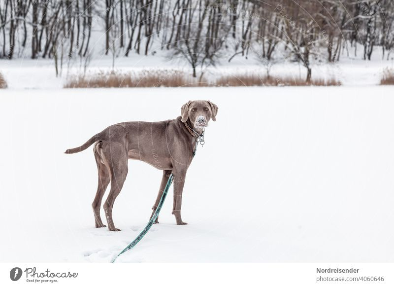 Weimaraner hunting dog in a winter landscape Dog Hound Snow Winter Pet pointing dog Animal pretty young dog Forest Romp game Smart observantly portrait Purebred