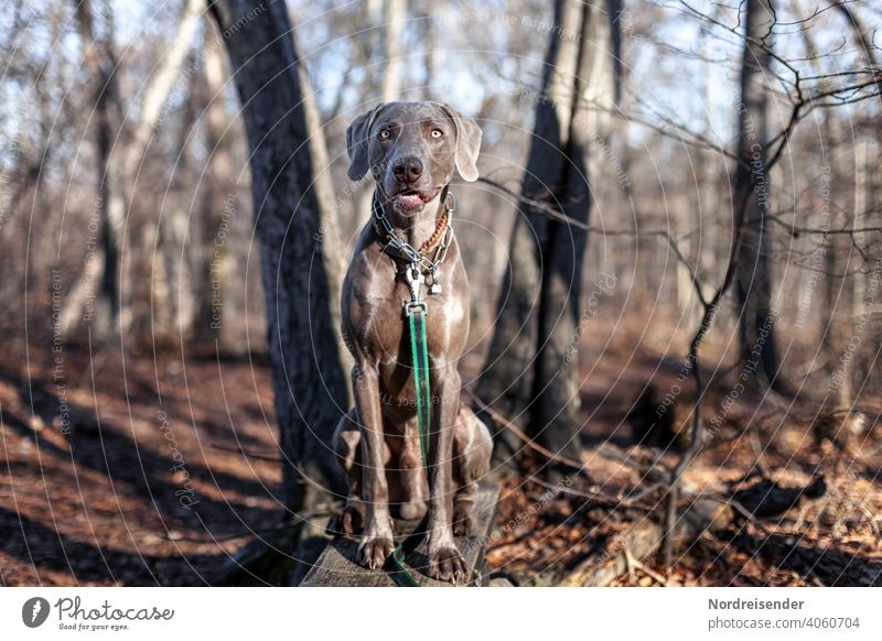 Weimaraner hunting dog in the forest Dog Hound Pet pointing dog Animal pretty young dog Smart observantly portrait Purebred Hunting Forest dog portrait youthful