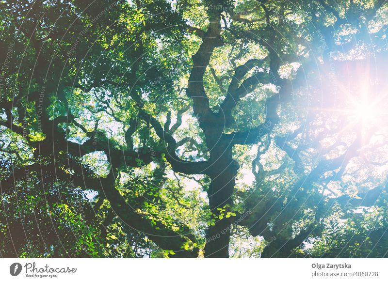 Sunlight streaming through the oak green crown. leaf tree background sunlight blue old park sky summer up branches beautiful botanic garden color crowns