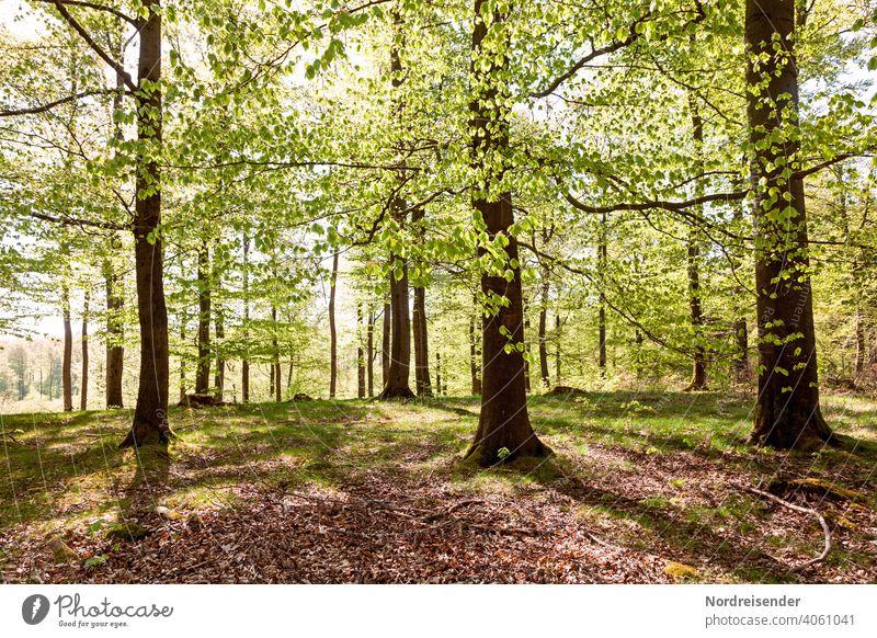Spring sun in a beech forest with fresh greenery Sun Beech wood Summer Summery Book Old Sunbeam Warmth Contemplative country Rural Back-light fagus Beech tree