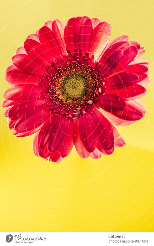 Macro shot of a red gerbera on yellow background Flower Blossom Gerbera Plant Blossoming Nature Shallow depth of field Garden Close-up Macro (Extreme close-up)