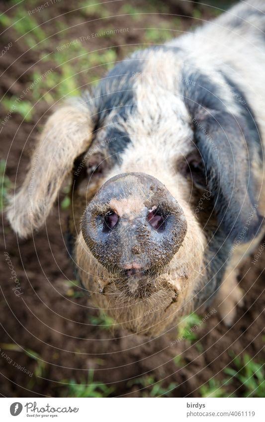 Portrait of a Bentheimer Landschwein in free-range husbandry Swine Face Trunk animal portrait Bentheimer land pig Looking into the camera Animal portrait