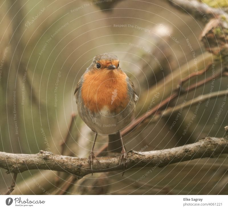 Bird photography - robin in morning light Robin redbreast Exterior shot Sit Colour photo Nature Deserted Shallow depth of field Full-length Bird Photography