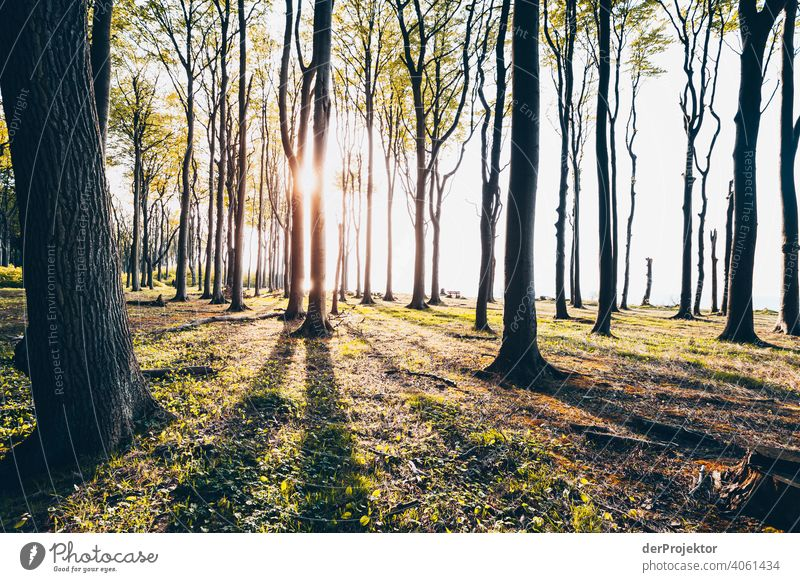 Ghost forest in Nienhagen in spring II Looking portrait Central perspective Deep depth of field Sunset Sunbeam Sunlight Silhouette Contrast Shadow Light Evening