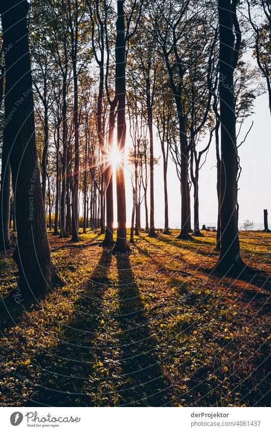 Ghost forest in Nienhagen in spring VIII Looking portrait Central perspective Deep depth of field Sunset Sunbeam Sunlight Silhouette Contrast Shadow Light