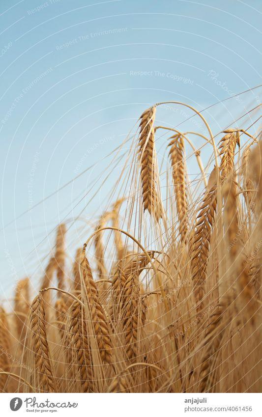 Cornfield landscape with blue sky vertical Sky Blue close up Landscape Grain Wheat Field Agriculture Nature Wheatfield Ear of corn Grain field Barley Nutrition