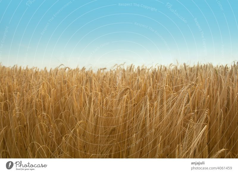 Cornfield in summer with blue sky. Landscape Grain fields Blue sky Wheat Nature Field Summer Sky Wheatfield Barley Ear of corn Harvest Agricultural crop