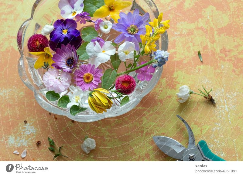 Spring flowers were cut with garden shears to let them float decoratively in a round glass bowl standing on a yellowish table spring flowers blossoms Claw shell