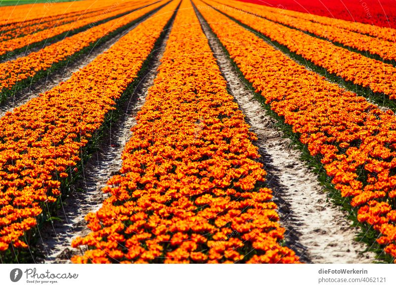 orange flowering tulip field Flower colors colourful Field Vanishing lines Landscape Agriculture Nature Plant Other Tulip Brown Orange Red