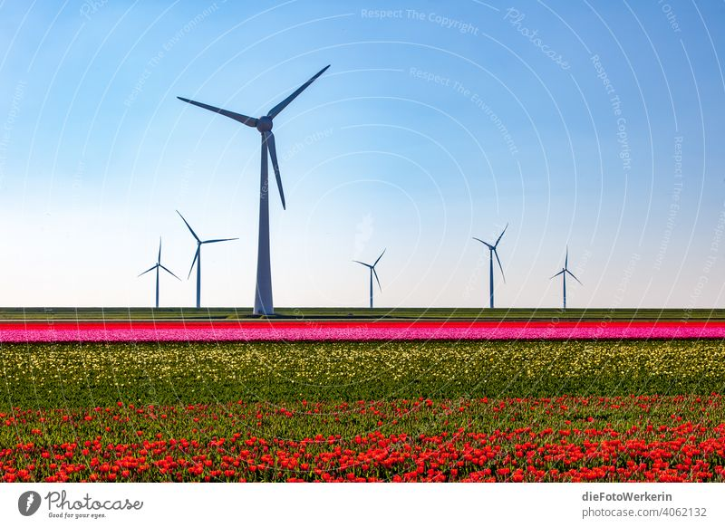 blooming tulip fields with wind turbines Flower colors Field Bright Rich in contrast Landscape Agriculture Nature Plant Other technology Tulip Pinwheel Green