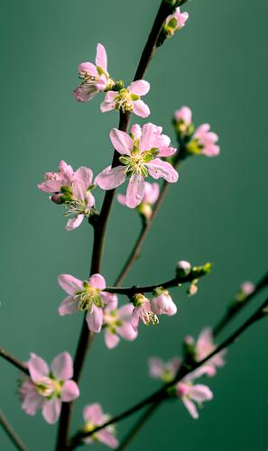Pink peach blossom on a branch against green background, macro shot Flower Blossom Plant Blossoming Nature Shallow depth of field Garden Peach blossom Close-up