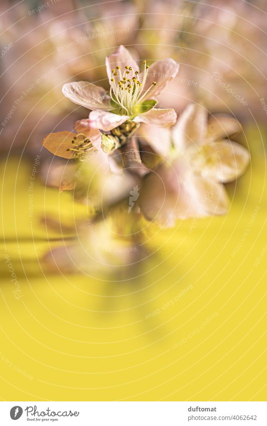 Pink peach blossoms on branch on yellow background, macro shot Flower Blossom Plant Blossoming Nature Shallow depth of field Garden Peach blossom Close-up