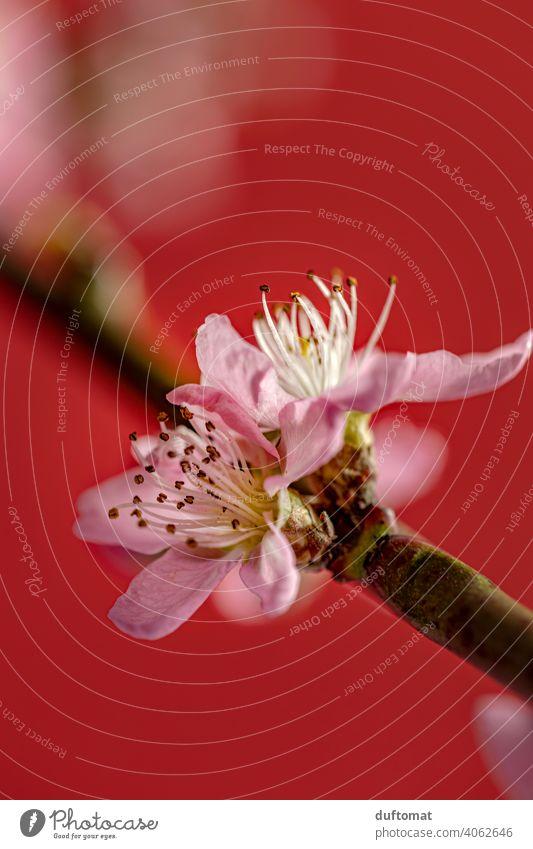 Pink peach blossom against red background, macro shot Flower Blossom Plant Blossoming Nature Shallow depth of field Garden Peach blossom Close-up Hanami