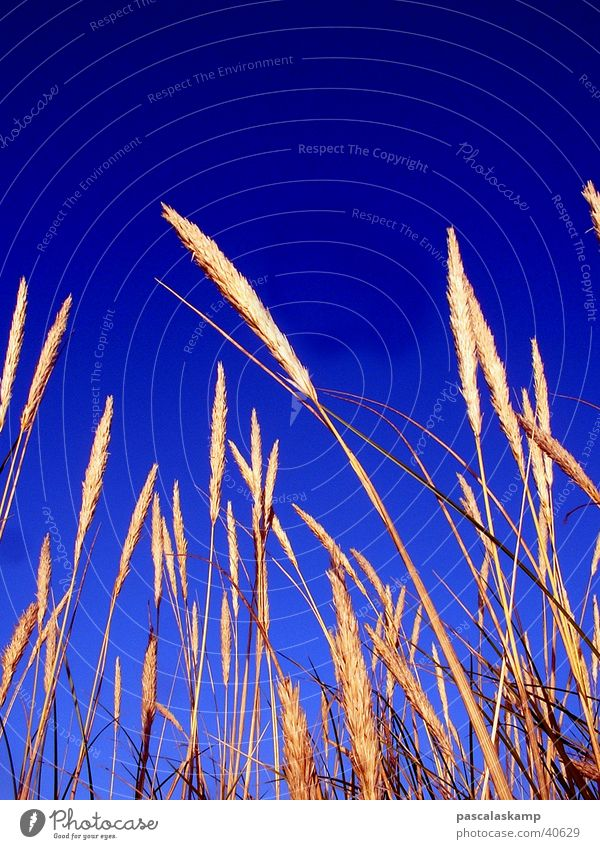 blue Common Reed Sky Contrast Blue Denmark Beautiful weather