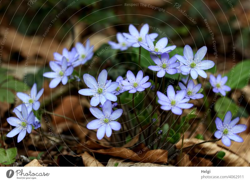 Liverworts in the forest Hepatica nobilis Buttercup Forest Woodground Spring Spring flowering plant hepatica Plant Colour photo Nature Flower Exterior shot